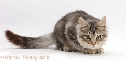 Silver tabby kitten crouching, ready to pounce