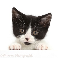 Black-and-white kitten with paws over