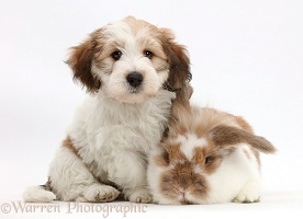 Jack Russell x Bichon puppy and rabbit
