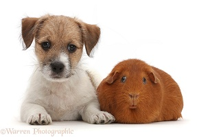 Jack Russell x Bichon puppy and fat red Guinea pig