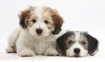 Jack Russell x Bichon puppies