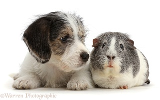 Jack Russell x Bichon puppy and Guinea pig