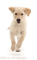 Yellow Labrador Retriever puppy running