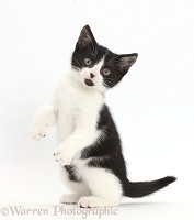 Black-and-white kitten standing on haunches