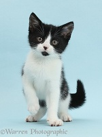 Black-and-white kitten on blue background