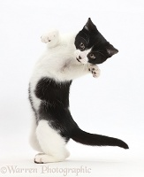 Black-and-white kitten turning and grasping