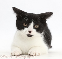 Black-and-white kitten looking disgruntled