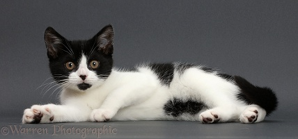 Black-and-white kitten lounging on grey background