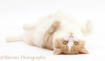 Siberian cat lying on her back
