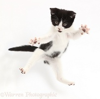 Black-and-white kitten leaping like a ninja