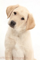 Yellow Labrador Retriever puppy with tilted head