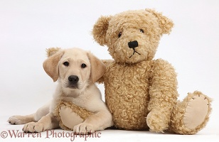Yellow Labrador Retriever puppy and teddy