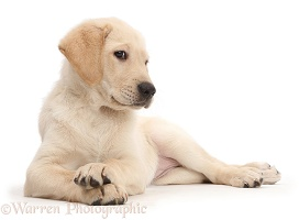 Snooty Yellow Labrador puppy with crossed paws