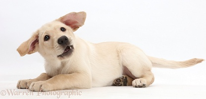Playful Yellow Labrador Retriever puppy