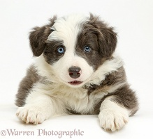 Border Collie puppy lying with head up