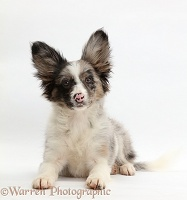 Papillon x Collie dog