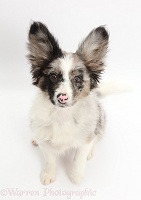 Papillon x Collie dog, sitting
