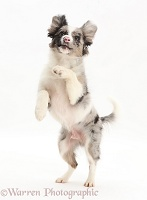 Papillon x Collie dog jumping up