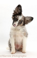 Papillon x Collie dog, sitting with tilted head