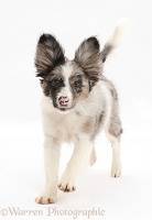 Papillon x Collie dog running
