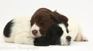 Springer Spaniel puppies sleeping