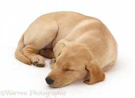 Yellow Labrador puppy sleeping