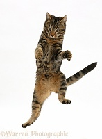 Tabby cat jumping in the air