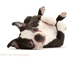 Boston Terrier lying on his back