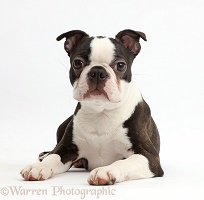 Black-and-white Boston Terrier