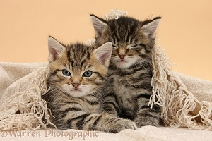 Cute sleepy tabby kittens, under a shawl