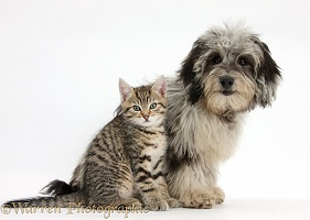 Cute tabby kitten with Daxiedoodle pup
