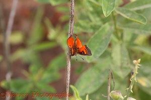Common Scarlet Butterfly