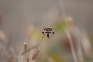 Portia Widow Dragonfly