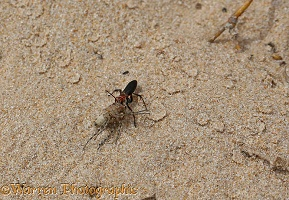 Spider-hunting wasp with prey