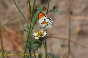 Tiny Orange-tip Butterfly