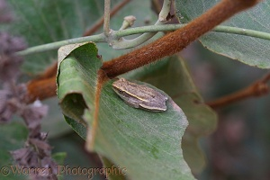 West African Reed Frog