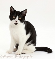 Black-and-white kitten sitting