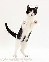 Black-and-white kitten jumping up