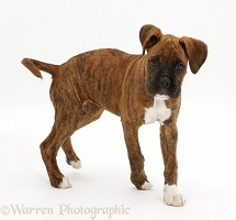 Brindle Boxer puppy turning