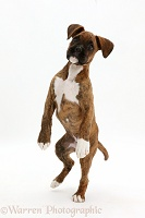 Playful brindle Boxer puppy jumping up