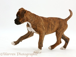 Brindle Boxer puppy walking across
