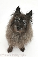 Elderly black Cairn Terrier