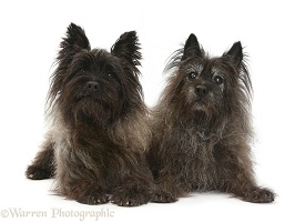 Two black Cairn Terriers, one elderly