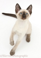 Siamese kitten, 10 weeks old, looking up