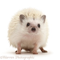 White Pygmy Hedgehog