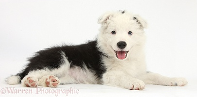 Happy black-and-white Border Collie pup