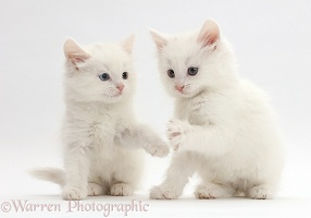 White kittens playing