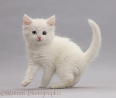 White kitten on grey background