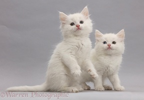 White kittens on grey background