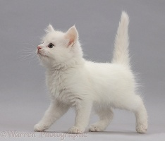 White kitten walking across on grey background